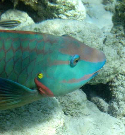 "Providenciales: Stoplight Parrotfish - White House ""Bight"" reef - August 2009"
