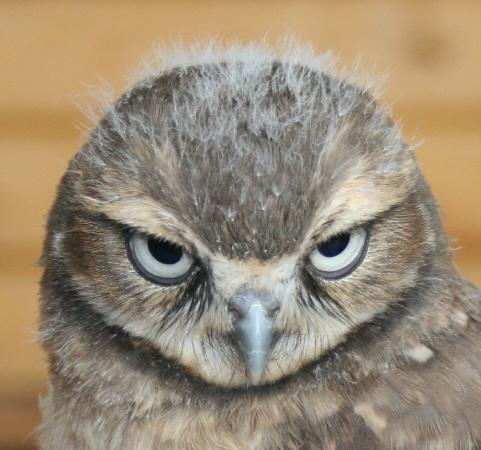 Burrowing Owl Interpretive Centre: Meet George