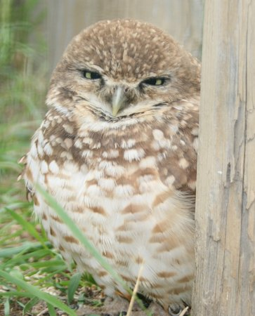 Burrowing Owl Interpretive Centre: Meet Trooper