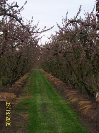 Ballico, CA: Orchards