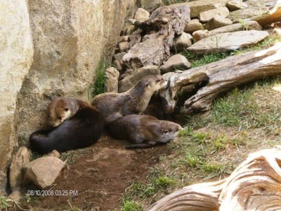 Linville, นอร์ทแคโรไลนา: otters....