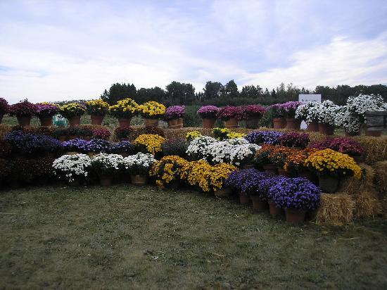 The Jungle Farm: Potted Mums in all there glorious colors