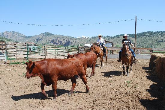 Sylvan Dale Guest Ranch: penning steers