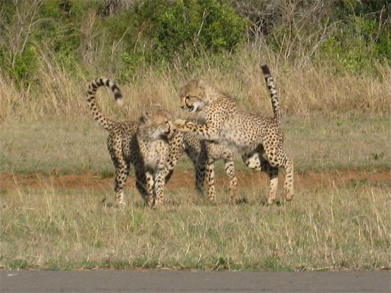 andBeyond Phinda Zuka Lodge: Cheetahs playing