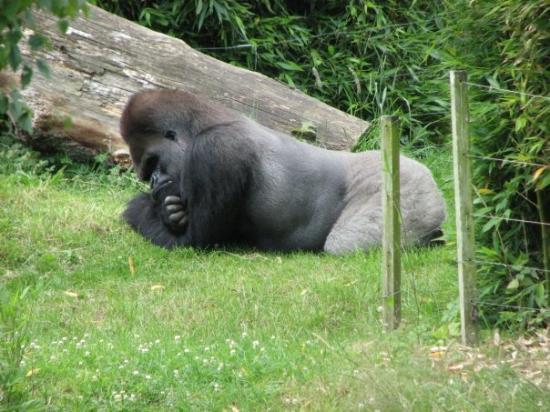 Jersey Zoo: Thinking Gorilla @ Durrell C
