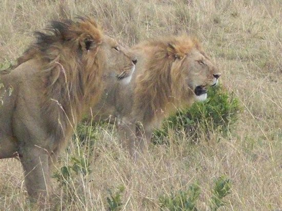 Porini Mara Camp: lions on the prowl