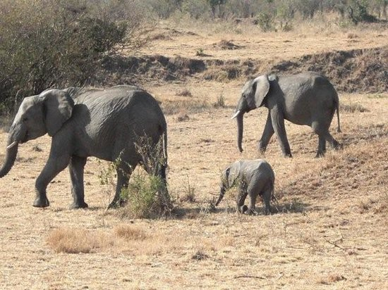 Porini Mara Camp: family of elephants