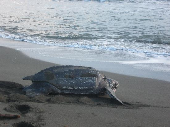 Limon, Costa Rica: Leatherback Turtle, Gandoca-Manzanillo Wildlife Refuge