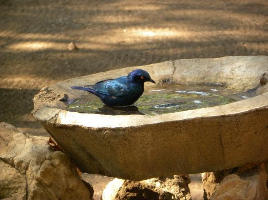 Letaba Rest Camp: Glossy Starling