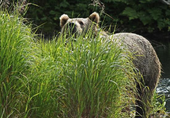Beaver Creek Lodge Bed & Breakfast: Bears are skittish around humans
