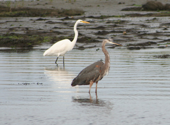 Pulau Chincoteague, VA: Egret & Great Blue Heron