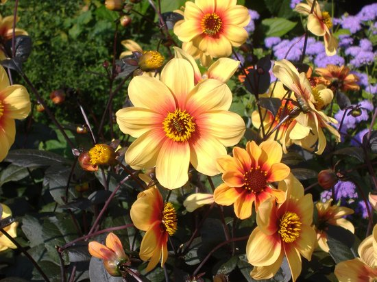 University of Oxford Botanic Garden: Dahlias
