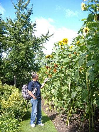 University of Oxford Botanic Garden: Sunflowers