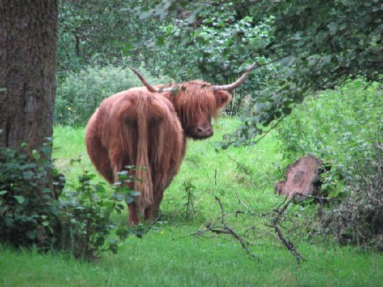 Old Pier House: One of the highland cows in the field.