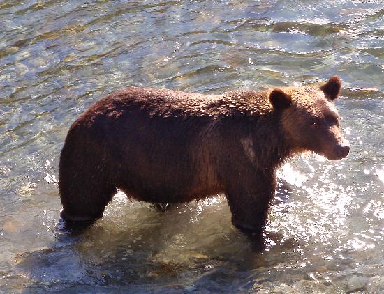 Sonora Island, Canadá: Grizzly, no telephoto