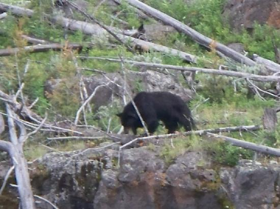 Tower Fall Campground: Black Bear near the Petrified Tree (about 5 miles from Tower)