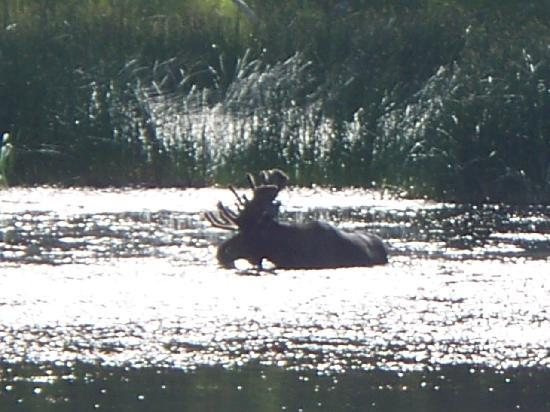 Tower Fall Campground: Bull Moose feeding close to Tower