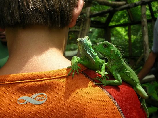 Green Iguana Conservation Project : Cute young iguanas
