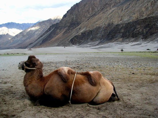 Kashmir, India: Double humped camels