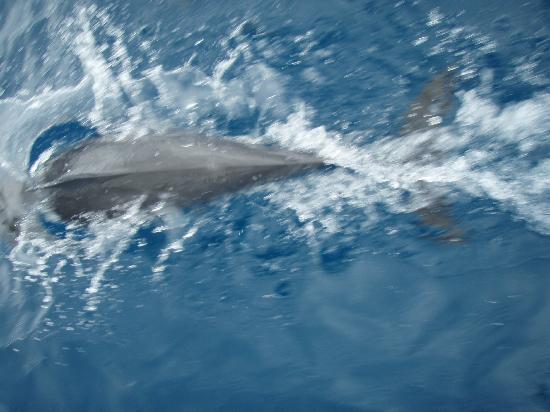 Lalati Resort & Spa: dolphins on the way to shark feed dive