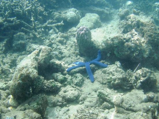 Lalati Resort & Spa: bluestar fish snorkeling in front of Lalati