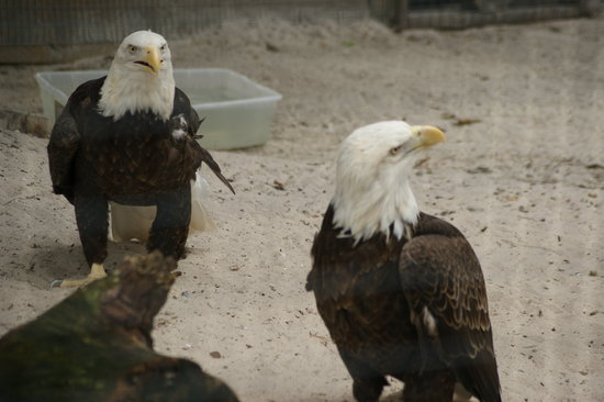 Calusa Nature Center and Planetarium : 2 Eagles