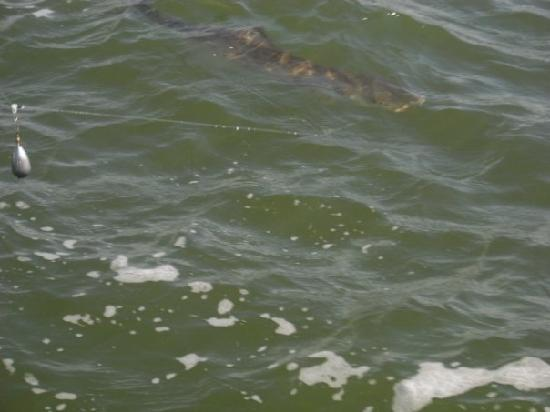 Bulldog Fishing Charters: Reeling in the Cobia!