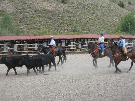 Granby, CO: Cattle Penning