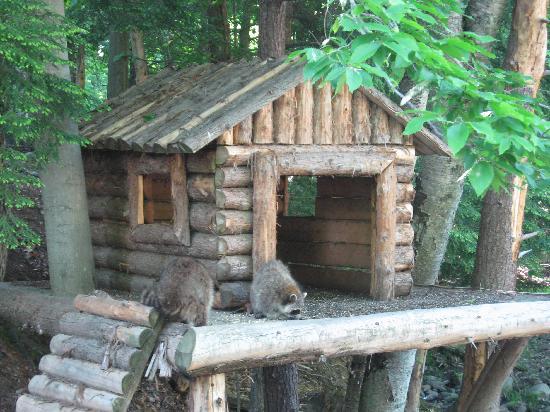 Montebello, Canada: Lucky Raccoons