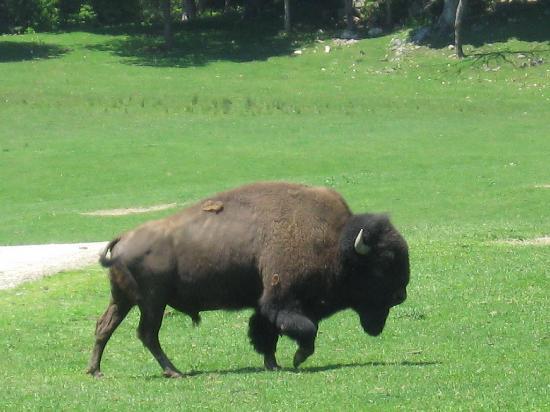 Montebello, Kanada: Don't feed the buffalo
