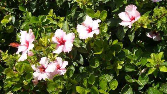 Hotel Fuerte Conil - Costa Luz : Hibiscus blancs