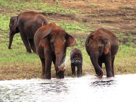 Greenwoods Resort : elephants at the periyar