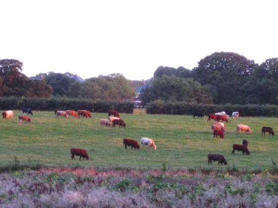 Oakfield Guest House: View from our room: cows grazing in the evening sun