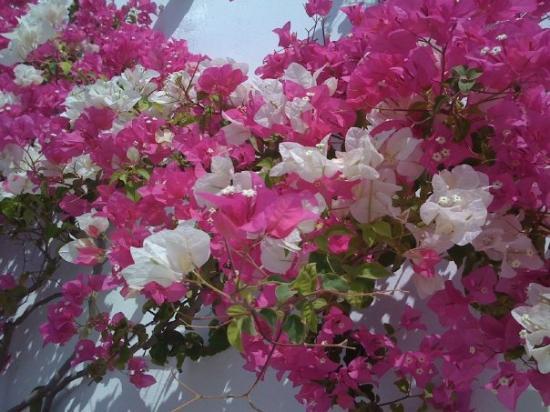 Ancient Thera : beautiful flowers in Santorini/Greece