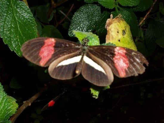 Monteverde Butterfly Garden (Jardin de Mariposas) : So many beautiful butterfly species...