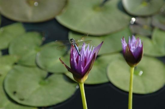 The International Water Lily Garden @ Civic League Park : DSC_0119