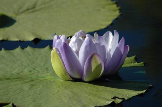 The International Water Lily Garden @ Civic League Park : DSC_0112
