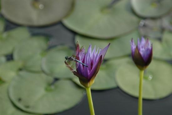 The International Water Lily Garden @ Civic League Park: DSC_0120