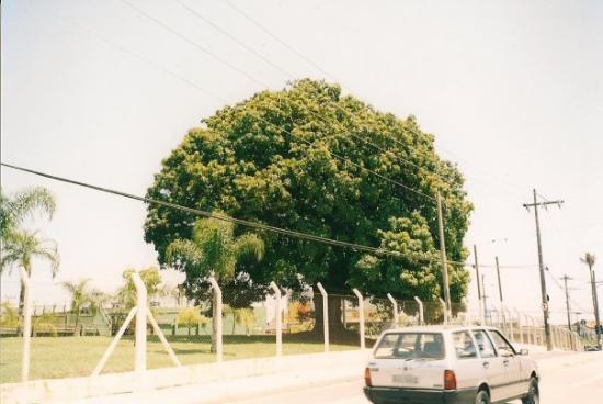 Sorocaba, SP: Piccola pianta di Mango - Il mango (Mangifera indica) è una pianta tropicale appartenente alla