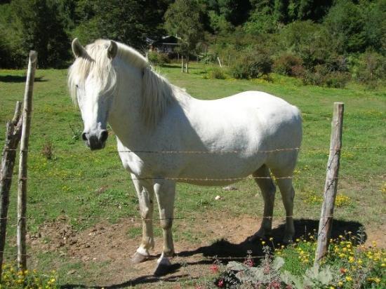Chaitén, Chile: ¿De que color era el caballo blanco de Napoleón?