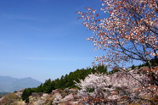 Yoshino-cho, Japan: 吉野山の桜絶景