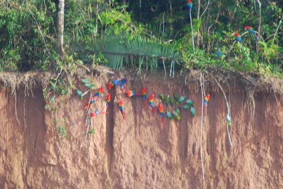 Wasai Tambopata Lodge: La colpa de los guacamayos