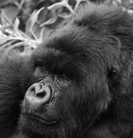 Gorilla's Nest / Jack Hanna Cottage: Silverback