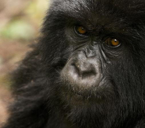 Gorilla's Nest / Jack Hanna Cottage: Juvenile female