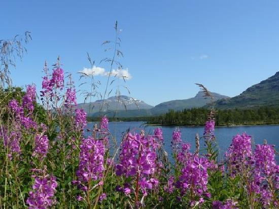 Oslo, Norwegen: épilobe en fleur en Laponie