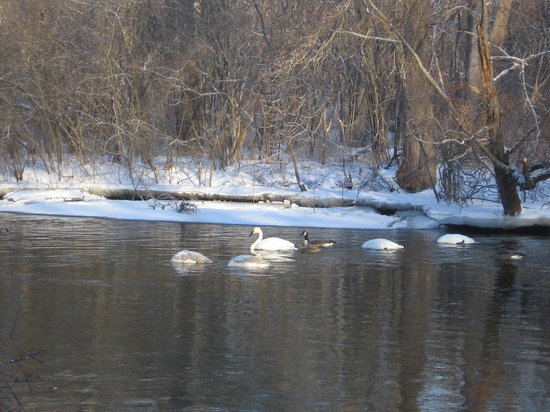 Ann Arbor, MI: 冬のハクチョウたち