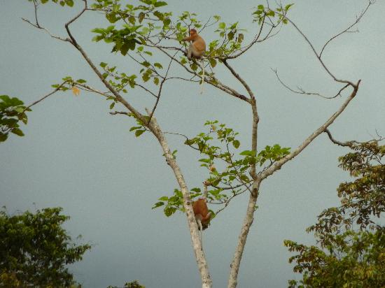 Barefoot Sukau Lodge: Proboscis Monkeys near lodge