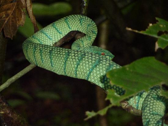Barefoot Sukau Lodge: Tree snake