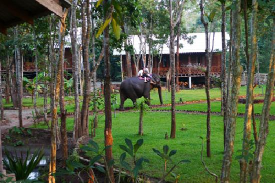 Ban Laongam, Laos: elephant in the garden