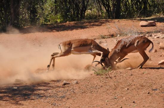 Spirit of Africa Lodge: différent entre impalas